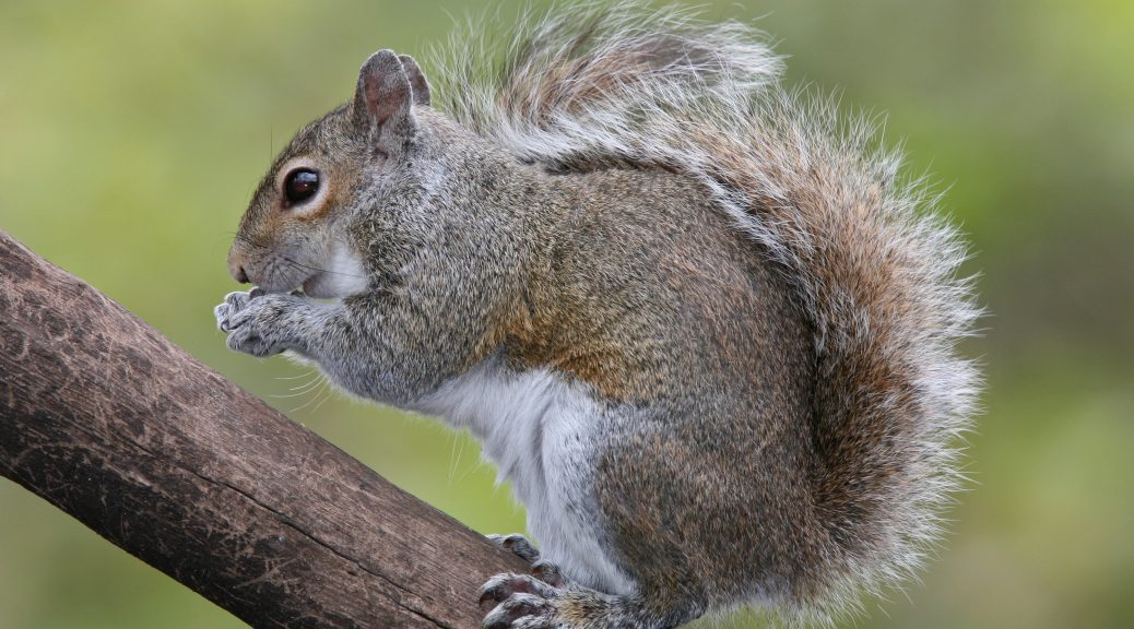 Eastern Grey Squirrel
