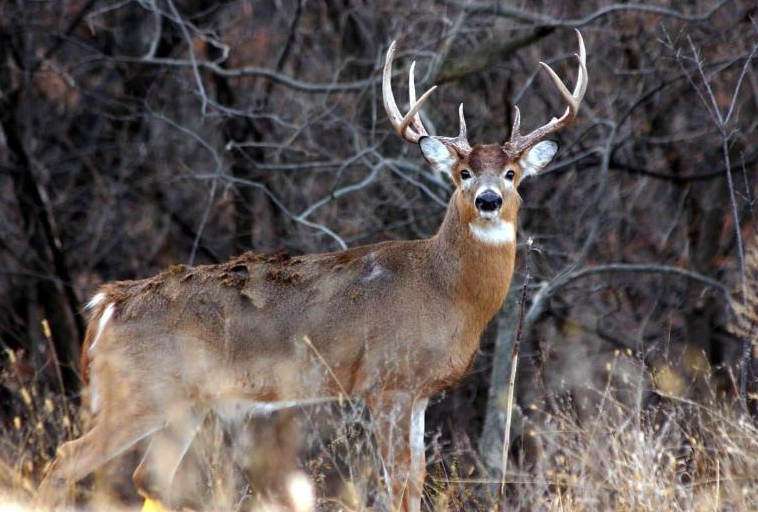 An image of a whitetail deer buck